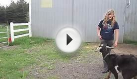 Blackjack the Trick Goat (how to train your goat to do tricks)